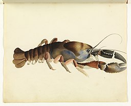 Freshwater Crayfish by Tasmanian Archive and Heritage Office Commons [No restrictions], via Wikimedia Commons