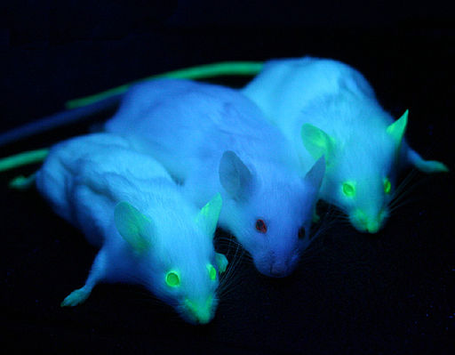 Green Fluorescent Protein Mice CC BY 2.0 (http://creativecommons.org/licenses/by/2.0)], via Wikimedia Commons