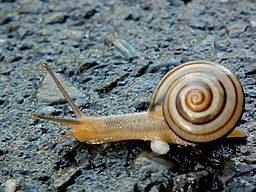 Gastropod by Charles Lam, CC BY-SA 2.0 <https://creativecommons.org/licenses/by-sa/2.0>, via Wikimedia Commons