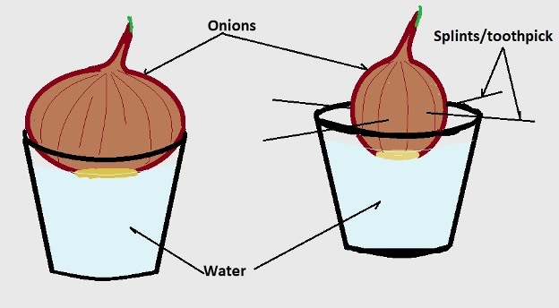 Growing onion roots set up. Credit: MicroscopeMaster.com
