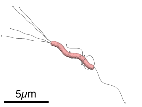 Structure of Helicobacter pylori by Y tambe - own work, CC BY-SA 3.0, https://commons.wikimedia.org/w/index.php?curid=234683