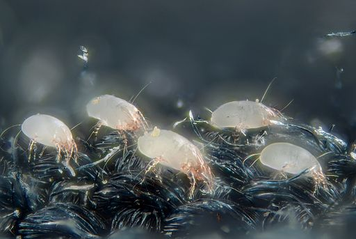 By Gilles San Martin from Namur, Belgium (House dust mites  Uploaded by Jacopo Werther) [CC BY-SA 2.0 (https://creativecommons.org/licenses/by-sa/2.0)], via Wikimedia Commons