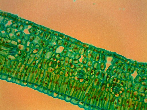 Hydrophytic_Leaf_Cross_Section_Stained_Microscope_Slide