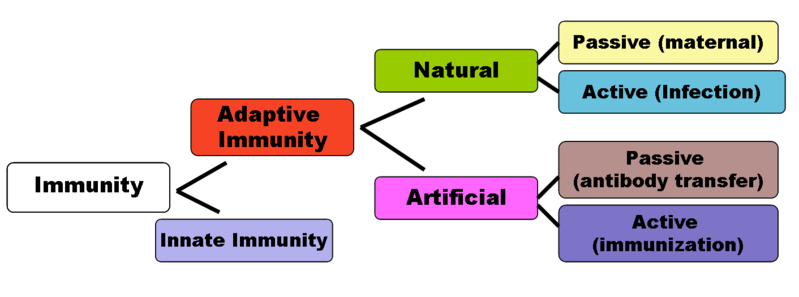 Flow chart diagram depicting the divisions of Immunity Natural immunity occurs through contact with a disease causing agent by User:DO11.10 on wikipedia commons.