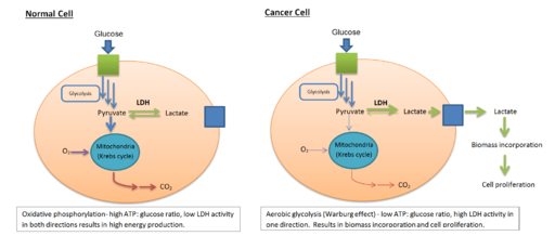 Comparison of LDH activity in normal and cancerous cell metabolisms by Bcndoye [CC BY-SA (https://creativecommons.org/licenses/by-sa/3.0)]