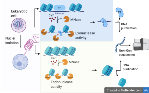 MNase seq work flow; endonuclease vs exonucleases by Omerriya, CC BY-SA 4.0 <https://creativecommons.org/licenses/by-sa/4.0>, via Wikimedia Commons