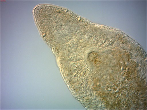 Microstomum caudatum  Biota > Animalia (Kingdom) > Platyhelminthes (Phylum) > Rhabditophora (Class) by Christopher Laumer / CC BY (https://creativecommons.org/licenses/by/2.0)