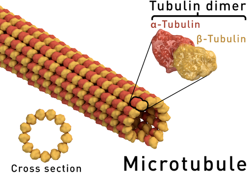 Diagram showing a microtubule and the alpha/beta-tubulin heterodimer it's being constructed from by Thomas Splettstoesser (www.scistyle.com) / CC BY-SA (https://creativecommons.org/licenses/by-sa/4.0)