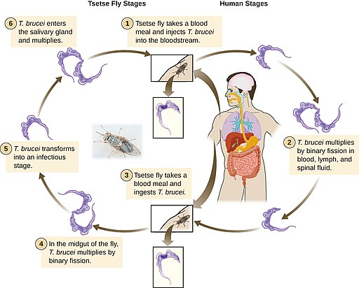 Trypanosoma life cycle by CNX OpenStax [CC BY 4.0 (https://creativecommons.org/licenses/by/4.0)]