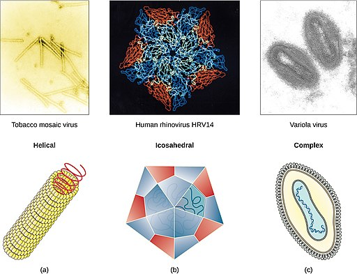 Helical, icosahedral and complex structures of viruses by CNX OpenStax [CC BY 4.0 (https://creativecommons.org/licenses/by/4.0)]