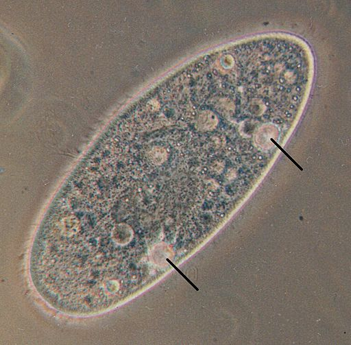Paramecium contractile vacuoles by Hämbörger (talk) Paramecium.jpg: User:Josh Grosse (Paramecium.jpg) CC-BY-SA-3.0 (http://creativecommons.org/licenses/by-sa/3.0/)], via Wikimedia Commons