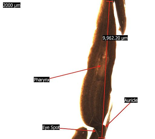 Dugesiidae Flatworm Labeled Microscope by Iceclanl / CC BY-SA (https://creativecommons.org/licenses/by-sa/3.0)