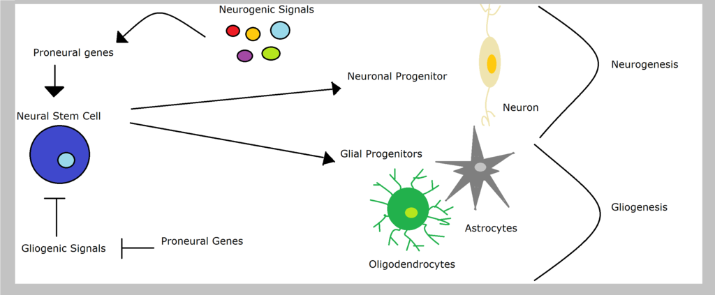 Proneural genes in neurogenesis and gliogenesis pathway by NCD project, CC BY-SA 3.0 <https://creativecommons.org/licenses/by-sa/3.0>, via Wikimedia Commons