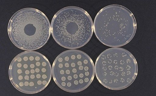 Cultures of Pseudomonas syringae van Hall taken from bean halo blight coloniesby Howard F. Schwartz, CC BY 3.0 <https://creativecommons.org/licenses/by/3.0>, via Wikimedia Commons