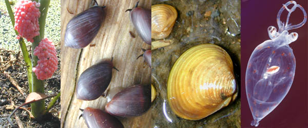 Group of Mollusks by Marshman~enwikibooks at English Wikibooks., CC BY-SA 3.0 <http://creativecommons.org/licenses/by-sa/3.0/>, via Wikimedia Commons