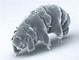 Tardigrade by Schokraie E, Warnken U, Hotz-Wagenblatt A, Grohme MA, Hengherr S, et al. (2012) [CC BY 2.5 (https://creativecommons.org/licenses/by/2.5)], via Wikimedia Commons