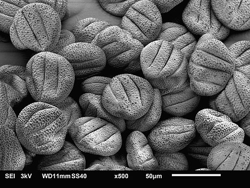 Scanning Electron Micrograph of Sage Pollen By Judyta Dulnik (Own work) [CC BY-SA 4.0 (https://creativecommons.org/licenses/by-sa/4.0)], via Wikimedia Commons