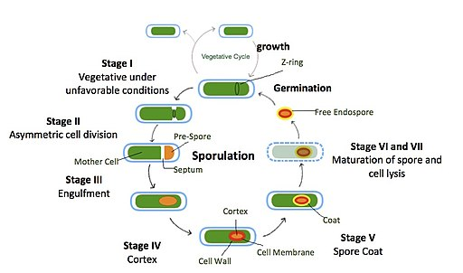 Sporulation in Bacillus subtilis in stages:  Daniellemaclean144 [CC BY-SA 4.0 (https://creativecommons.org/licenses/by-sa/4.0)]
