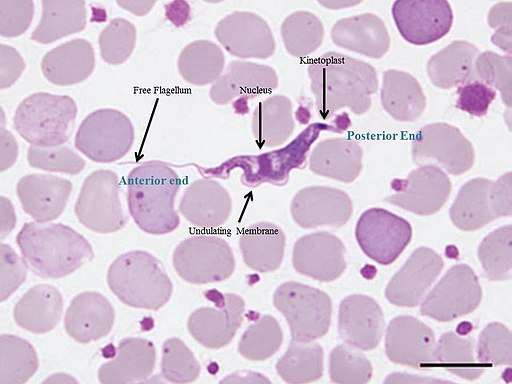 Bloodstream trypomastigote in a Giemsa-stained blood smear from koala by L.M. MCI N N E S*, A. GILLETT, U.M. R Y A N, J. A U S T E N,  R. S. F.  C A M P B  E L L,J.  H A N G E R and S.A. REID [CC0]