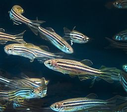 Zebrafish by Oregon State University [CC BY-SA 2.0 (https://creativecommons.org/licenses/by-sa/2.0)]