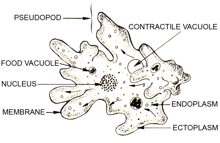 Line art drawing of an amoeba at Archives of Pearson Scott Foresman, donated to the Wikimedia FoundationPearson Scott Foresman [Public domain]