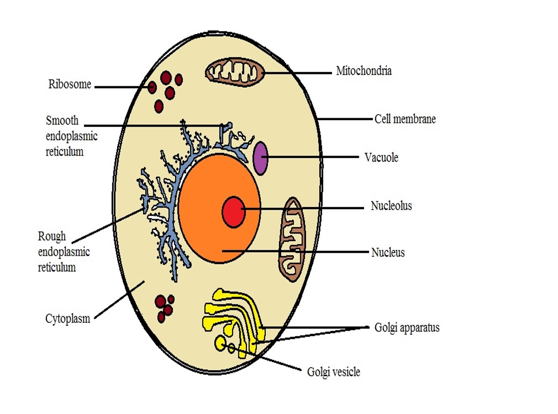 Model diagram of an animal cell, Credit: MicroscopeMaster.com