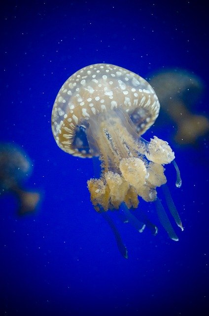 Jellyfish, Invertebrate Image by Pexels from Pixabay