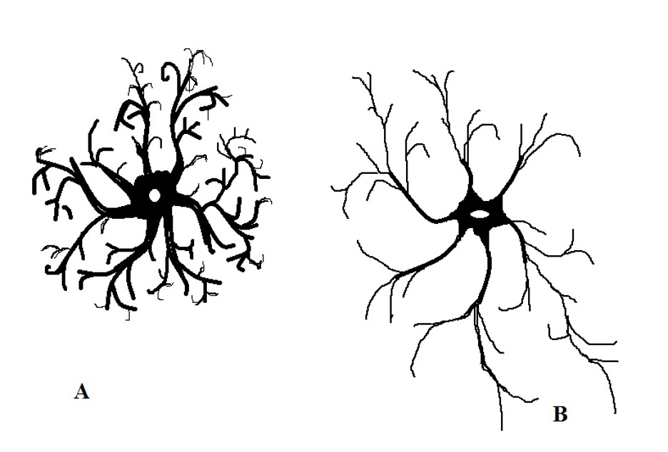 Astrocytes. A. Protoplasmic Astrocytes, B. Fibrous Astrocytes. Type of Glial Cell.  Credit: MicroscopeMaster.com