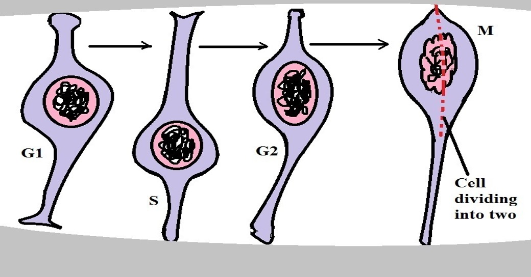Diagrammatic representation of the cell cycle of a neural progenitor during proliferation.  Credit: MicroscopeMaster.com