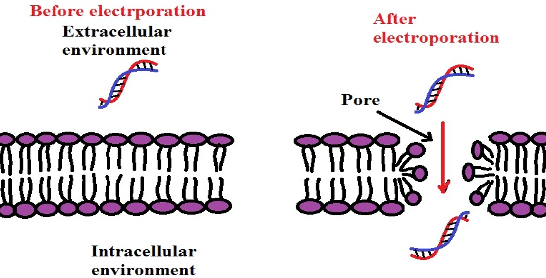 Diagram showing the impact of electroporation on the cell membrane. Credit: MicroscopeMaster.com