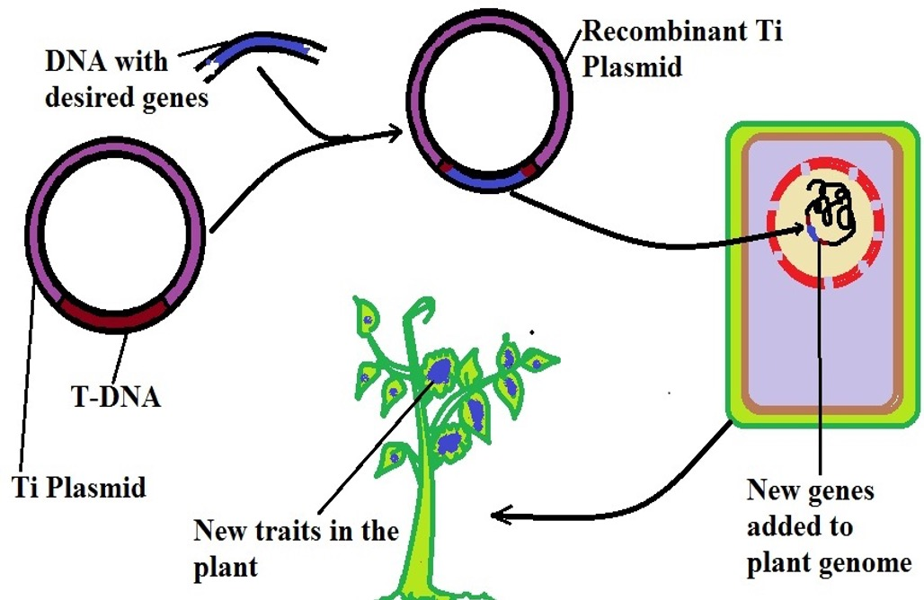 Diagrammatic representation of vector-mediated gene transfer. Credit: MicroscopeMaster.com