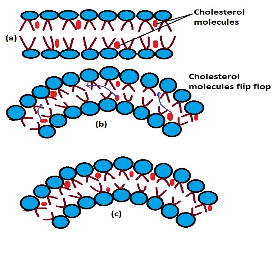 Diagrammatic representation of the flip-flop movement of cholesterol. Credit: MicroscopeMaster.com