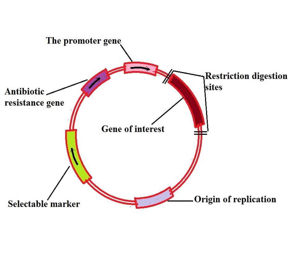 Diagrammatic representation of a plasmid used in recombinant DNA technology by MicroscopeMaster.com