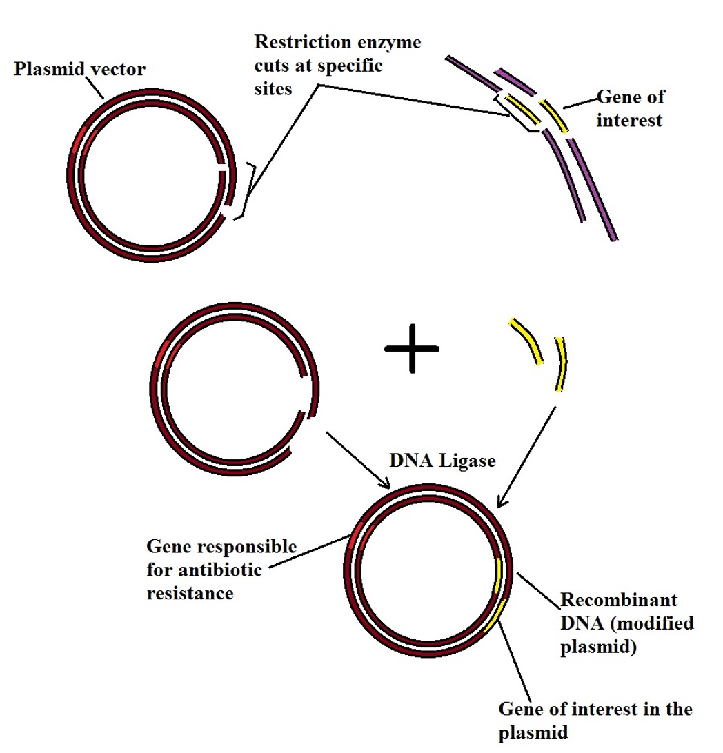 Diagrammatic representation of restriction digestion and ligation process, Recombinant DNA Technology, by MicroscopeMaster.com