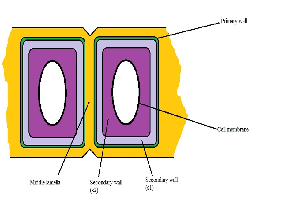 A diagrammatic representation of the primary and secondary cell walls. Credit: MicroscopeMaster.com