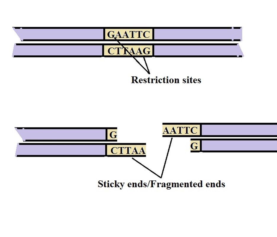 Restriction enzyme digestion may produce fragments with staggered ends (sticky ends) where a single strand tail extends at both ends of the fragment. Recombinant DNA Technology by MicroscopeMaster.com