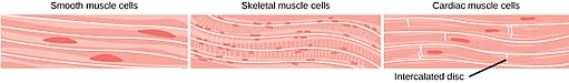 Cardiac muscle cells comparison CNX OpenStax [CC BY 4.0 (https://creativecommons.org/licenses/by/4.0)]