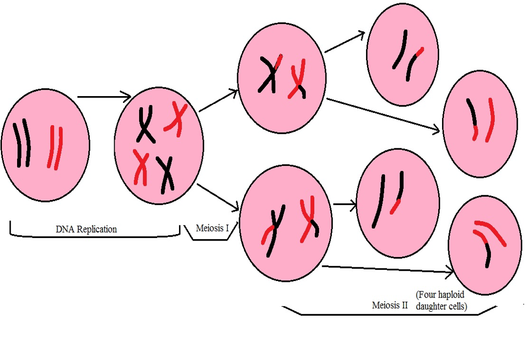 Diagrammatic representation: two haploid cells enter meiosis II, meiosis II results in the production of four haploid daughter cells. Credit: MicroscopeMaster.com