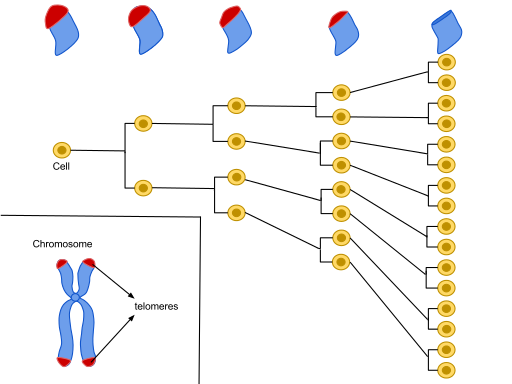Hayflick Limit is due to telomeres shortening through each division to eventually no longer be present on the chromosome by Azmistowski17 /CC BY-SA (https://creativecommons.org/licenses/by-sa/4.0)