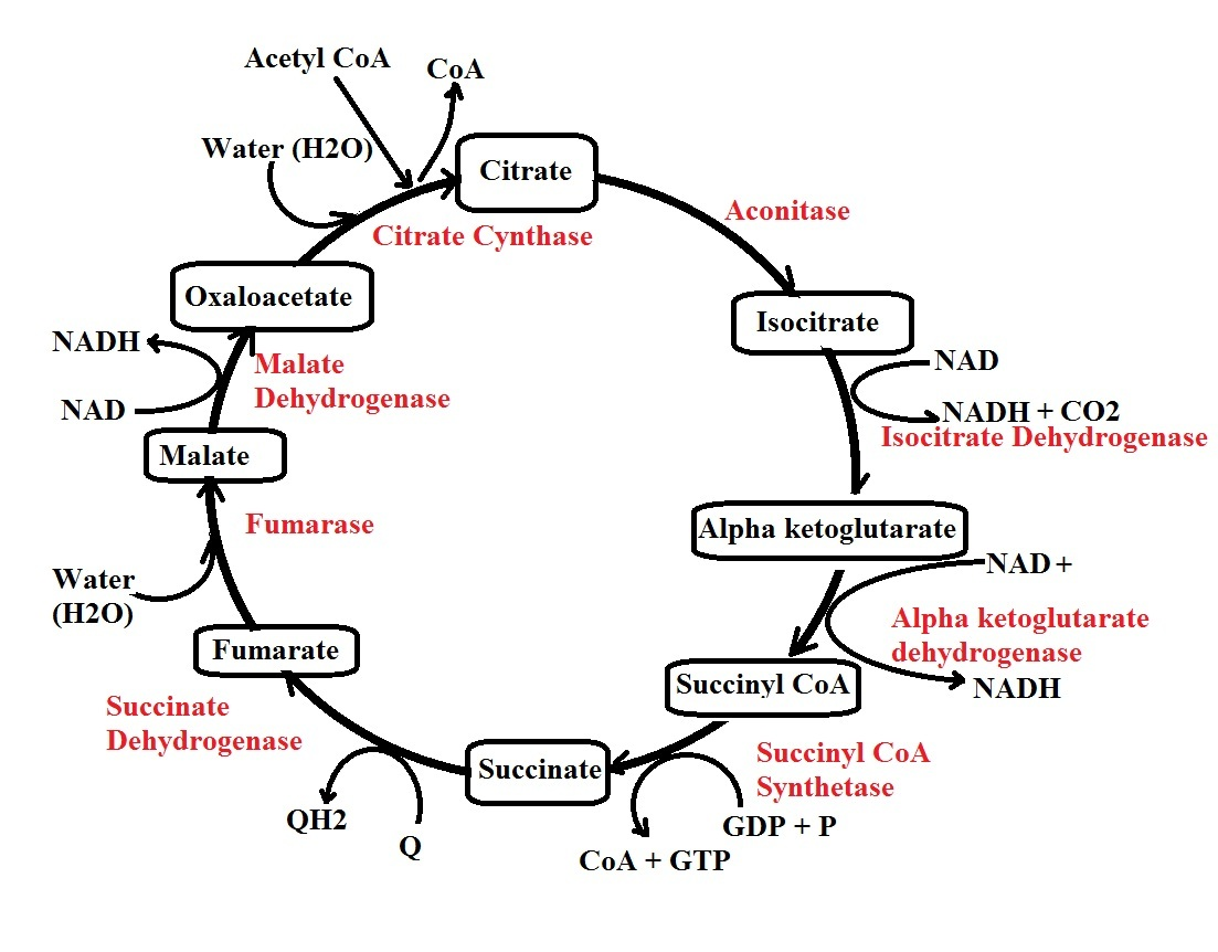 Kreb's Cycle by MicroscopeMaster.com