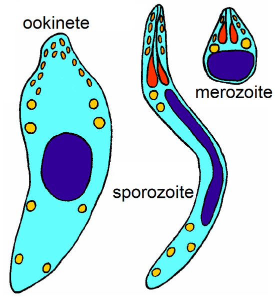 Three cell types of the lifecycle of Apicomplexan parasites, Own work by Jrockley, public domain