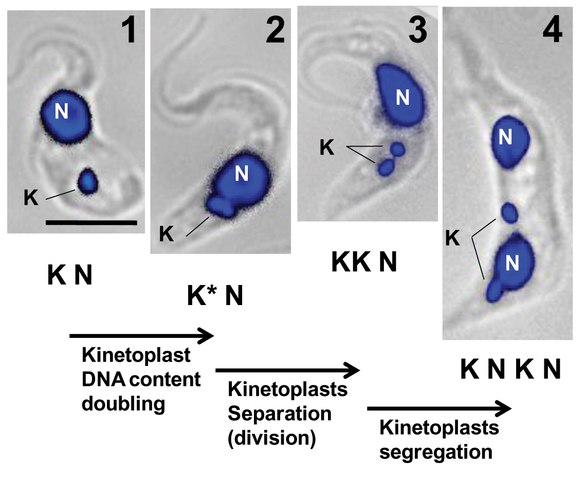 Kinetoplast Division By Angamuthu Selvapandiyan, Praveen Kumar, Jeffrey L. Salisbury, et al. CC BY 2.5, https://commons.wikimedia.org/w/index.php?curid=37971610