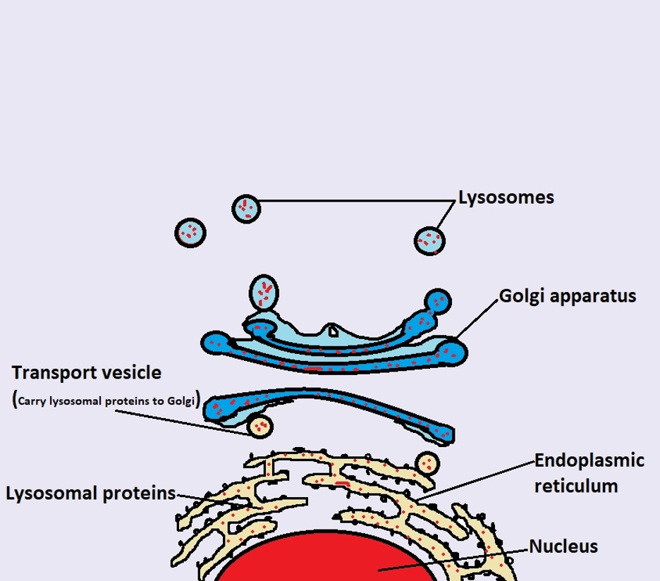 Image: Lysosomal enzymes fuse with the late endosome in Cytoplasm. Credit: MicroscopeMaster.com