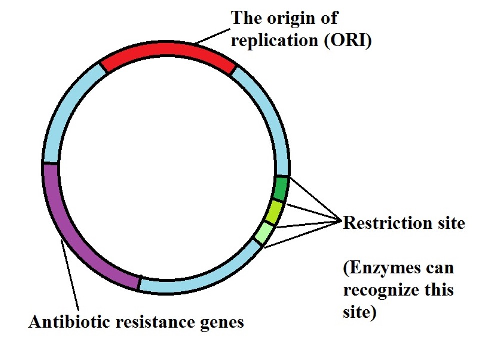 Diagrammatic representation of main parts of a plasmid, Credit: MicroscopeMaster.com