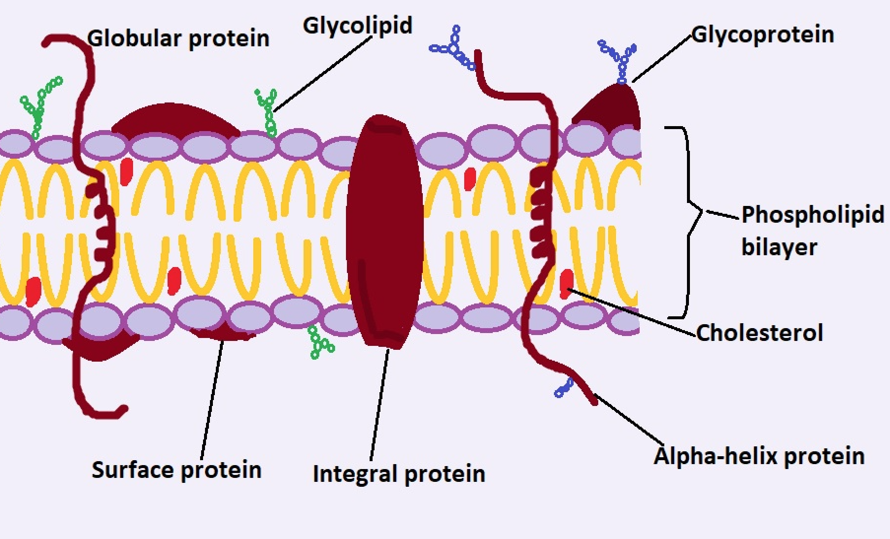 section of the cell membrane. Credit: MicroscopeMaster.com
