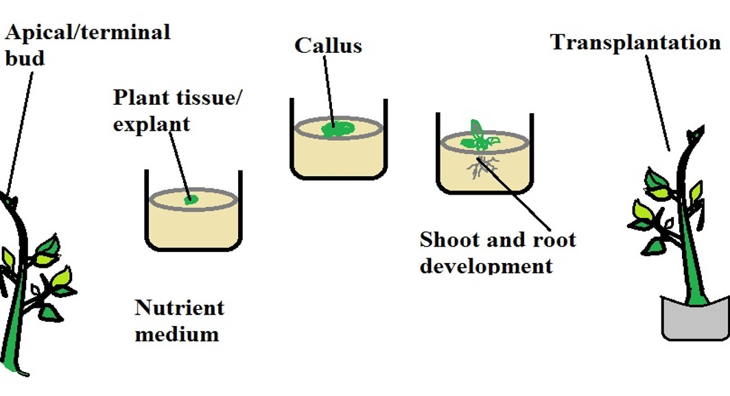 Diagrammatic representation of micropropagation. Credit: MicroscopeMaster.com