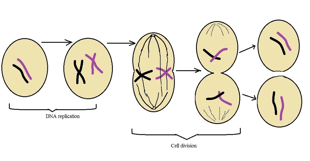Diagrammatic representation of mitosis in eukaryotic cells. Credit: MicroscopeMaster.com