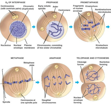 mitosis in cell division