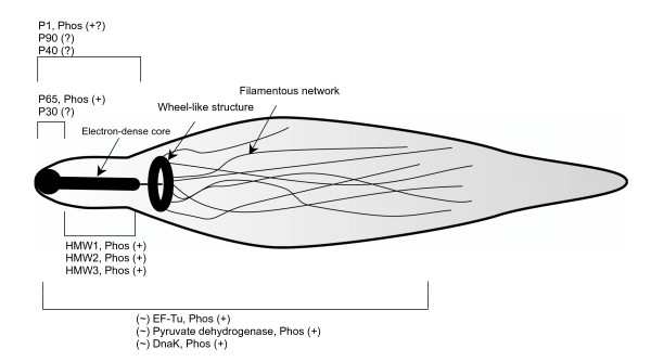 Schematic of the phosphorylated proteins in the attachment organelle of Mycoplasma pneumoniae by Su et al, creative commons