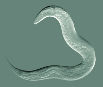 Caenorhabditis elegans, adult hermaphrodite by Bob Goldstein, UNC Chapel Hill http://bio.unc.edu/people/faculty/goldstein/ [CC BY-SA 3.0 (https://creativecommons.org/licenses/by-sa/3.0)]